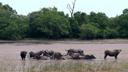 A herd of wild water buffalo in the lake