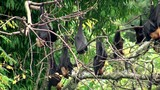 Flock of Flying foxes at the trees
