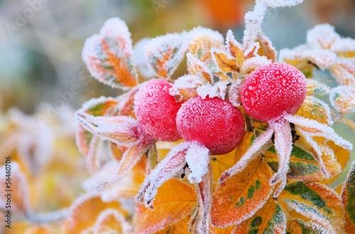 canvas print picture Hagebutte im Winter - hip in winter 05
