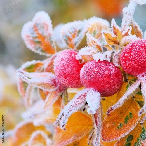Hagebutte im Winter - hip in winter 06 © LianeM