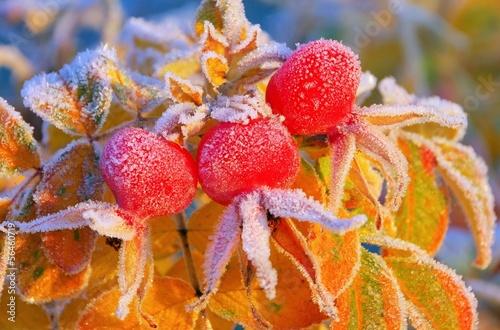 Hagebutte im Winter - hip in winter 07 © LianeM