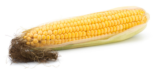 Fresh raw corn cobs isolated on the white background