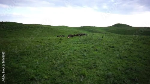 Horses in the steppe 1
