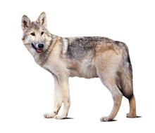 Stehen graue Wolf