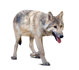 Walking gray wolf