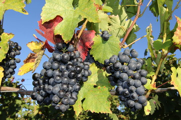 grappes, grape, vine, grappe de rasin, automne