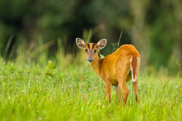 Barking deer stair at us in nature of Khao Yai National park,