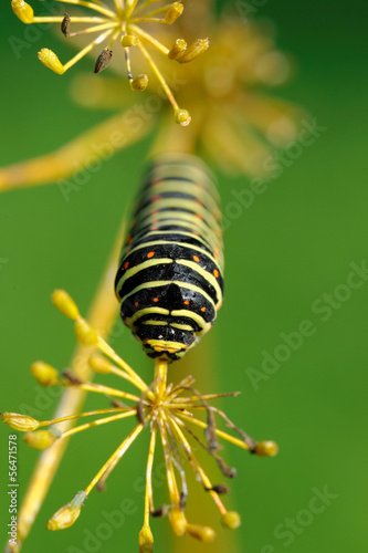 European Swallowtail caterpillar