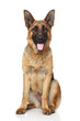 canvas print picture - German Shepherd dog