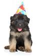 German shepherd puppy in party cone