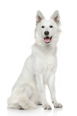 White Swiss Shepherd dog on white background