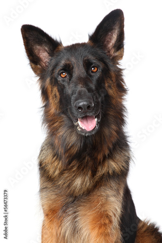 German Shepherd dog. Portrait on white