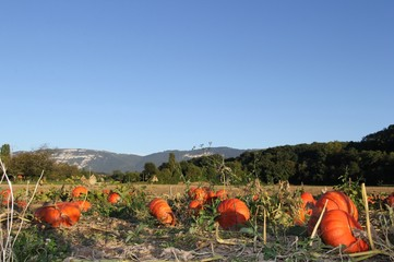champ, campagne, courge , pumpkin, countryside