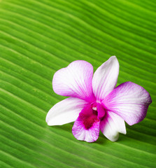 Orchid flower lies on green leaf