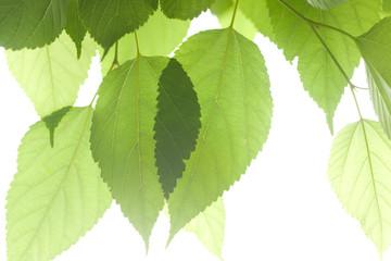 新緑のクワの葉