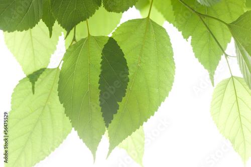 新緑のクワの葉 © moonrise