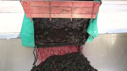 Scarico dell'uva in cantina
