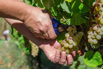 Vendemmia, raccolta dell'uva
