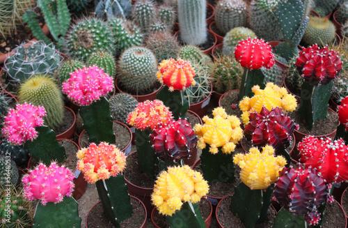 Foto op Plexiglas Cactus Zimmerkakteen