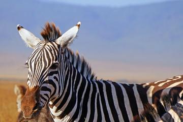 Zebra en Area de Conservacion Ngorongoro. Tanzania