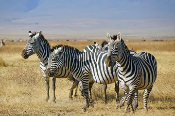 Grupo de zebras . Area de Conservacion Ngorongoro. Tanzania