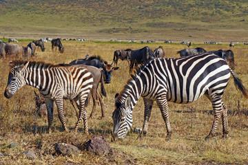 Grupo de zebras en el area de Conservacion Ngorongoro. Tanzania