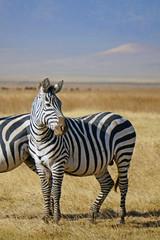 Zebra . Area de Conservacion Ngorongoro. Tanzania