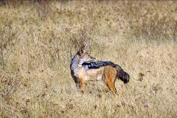 Chacal de dorso negro. Area Conservacion Ngorongoro. Tanzania