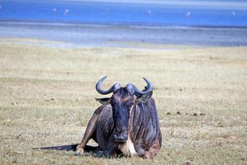 Ñu reposando en Area de Conservacion Ngorongoro. Tanzania