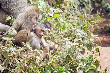 Crias de babuino. Area de Conservacion Ngorongoro. Tanzania