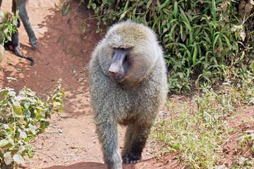 Babuino en Area de Conservacion Ngorongoro. Tanzania