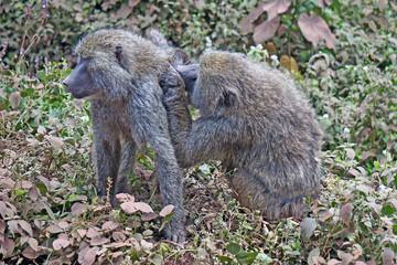 Par de babuinos. Area de Conservacion Ngorongoro. Tanzania