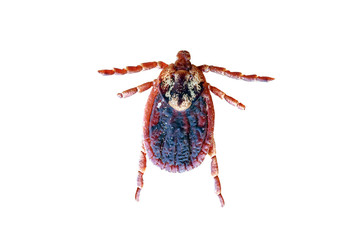 Tick bug isolated on