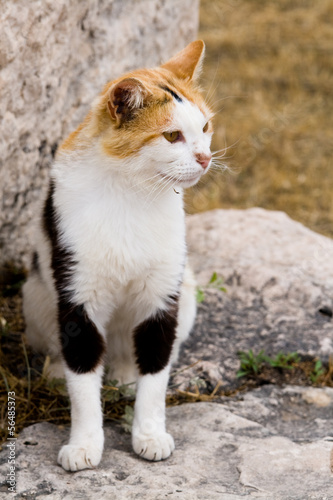 Tri-color cat who lives in the ruins of Athens, Greece