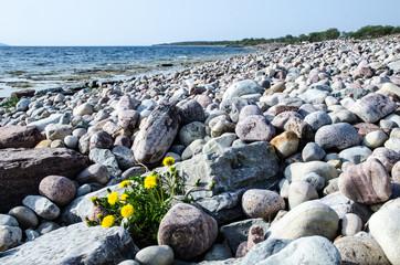 Dandelion among stones