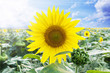 Sunflower on the field with cloudy sky background