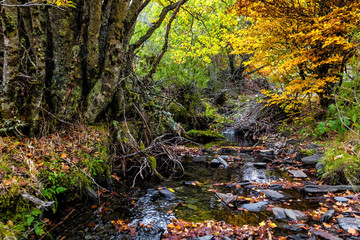 Mountain creek in autumn. Hayedo de Tejera Negra, Spain