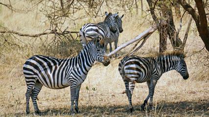 Cebras en el Serengeti
