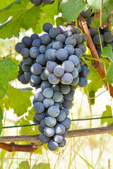 Nebbiolo Red grape bunches.