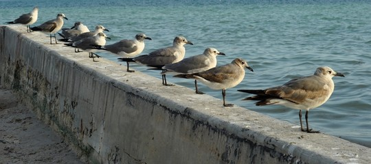 Standing seagulls lined up in a diagonal  near the ocean