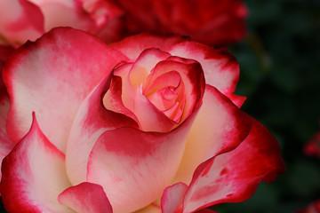 Crimson White Rose