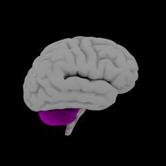 Cerebellum - human brain in side view