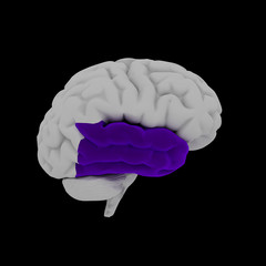 Temporal lobe - Human brain in side view