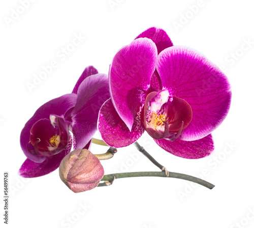 Blooming orchid lilac with bandlet  isolated,  white background