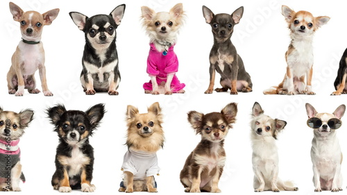 Loopable animation of chihuahuas pictures scrolling