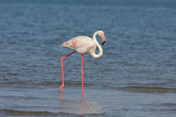 Flamingo over the water