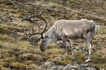wild reindeer in Spitzbergen
