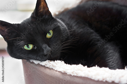 A black cat lying down in their bed.