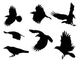 set of eight crow silhouettes isolated on white