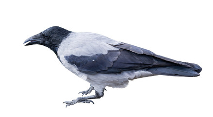 single grey crow isolated on white